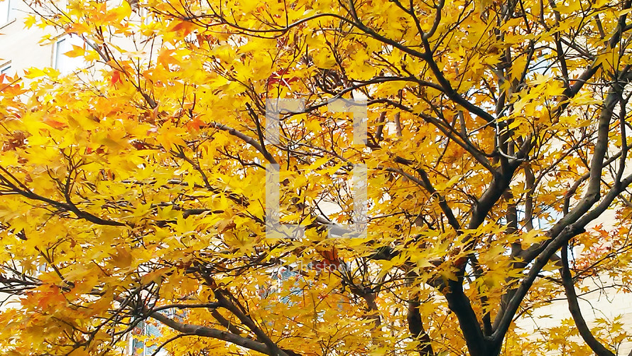 A large tree filled with bright yellow leaves adorns the sky and fills the horizon with bright yellow color as fall weather turns the leaves announcing cold weather is coming in Rural Virginia.