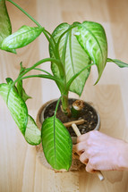 caring for a house plant