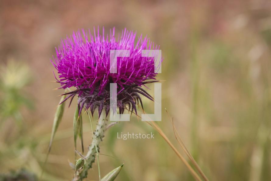 fuchsia purple flower