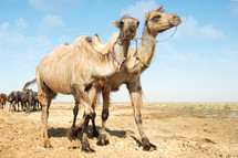 two camels walking near the horses
