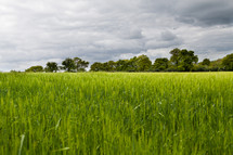 field of tall green grass