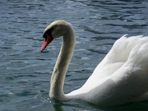 A beautiful swan glides through still waters on a peaceful sunny day.