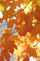 orange leaves on a fall tree