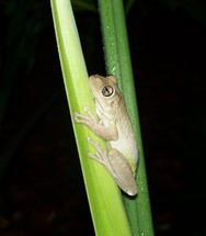 A Tree Frog clings to a blade of tall grass out in the night forest in the woods covered in dew in a tropical rainforest setting.