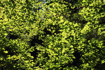 Treetops of bright green leaves.
