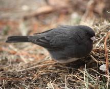 A little gray bird.