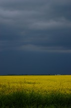 Canola field in bloom against storm backdrop