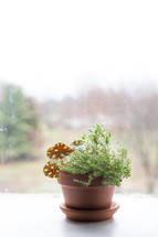 potted plant in a window