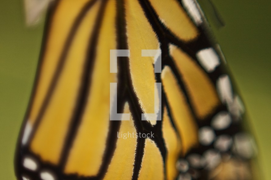 wing of a monarch butterfly