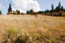 a field of dry tall grasses