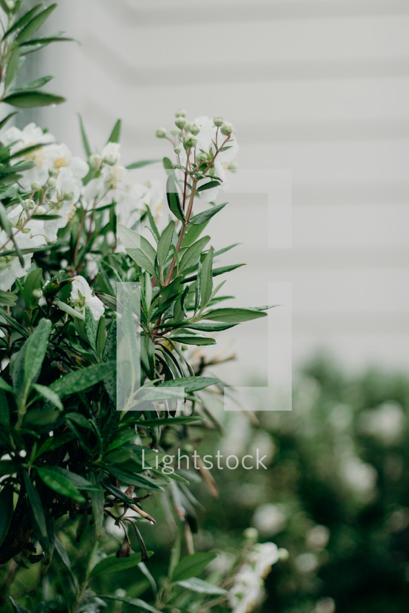 white flowers on a bush outdoors