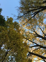 looking up at autumn trees