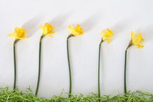 yellow daffodils and decorative grass border on white background