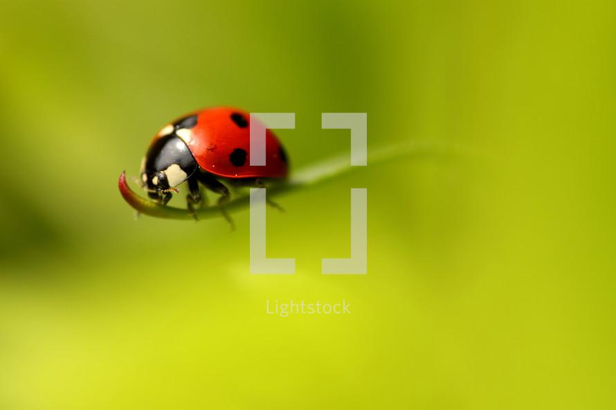 ladybug on a blade of grass