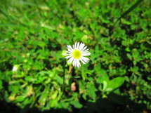 white daisy in grass