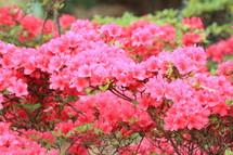 Pink blooms on an azalea bush.