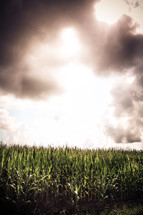 Corn field with sun shining through the clouds.
