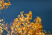 golden fall leaves on a tree against a blue sky