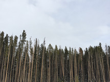 tall and bare pine trees