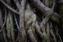vines on tree trunks