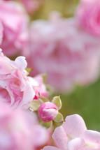 Roses in a garden.