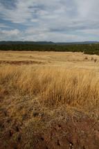 tall grass in a golden field