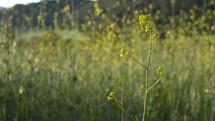 tall yellow wildflowers