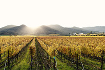 A vineyard with mountains beyond at sunset napa valley California fall colors