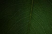 veins on a green leaf