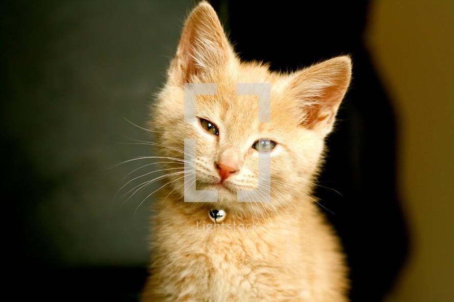 Blonde cat