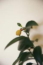 Budding plant