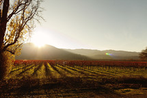 A  vineyard at sunset napa valley wine grapes fall