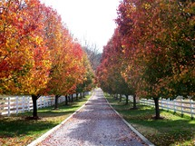 a row of trees with red, yellow, green and orange fall autumn leaves  line an old road surrounded with a white picket fence and fall autumn colors on a rural farm in Virginia.