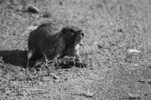 A gofer on the ground