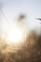 sunlight through tall grasses