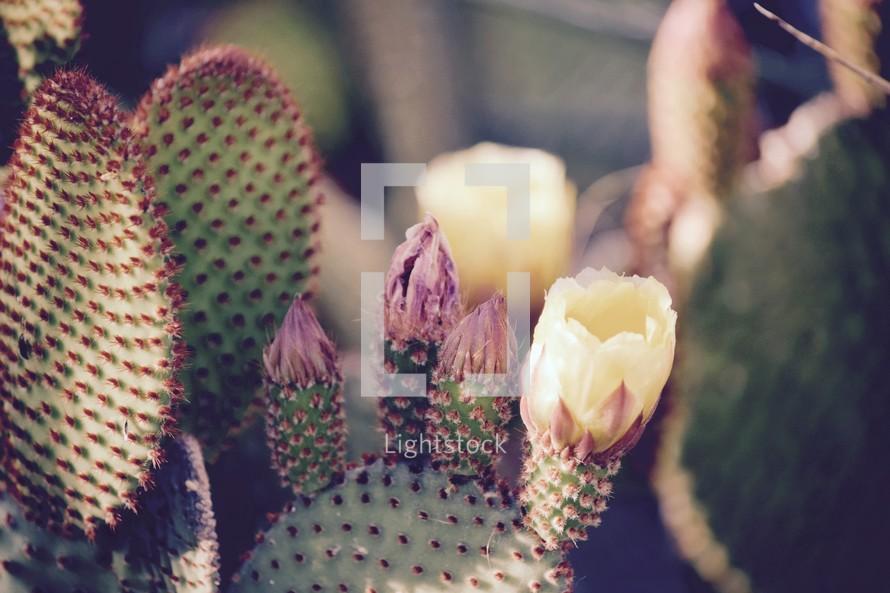 yellow cactus blooms