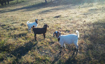 Three Goats together grazing in a grassy meadow at a rural farm in Central Florida on a sunny morning.