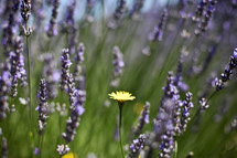 Field of purple wildflowers and yellow flower