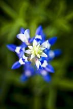 Aerial view of a bluebonnet flower.