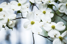 white dogwood flowers on the tree