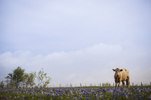 A cow in a field of bluebonnets.