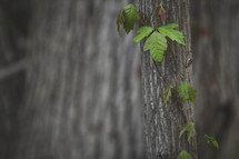 vines around a tree trunk