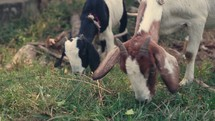 grazing goats in Nepal