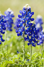bluebonnet flowers