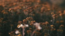 Flower field during golden hour - Camera movement - Slow Motion