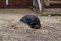 a pig resting on a farm