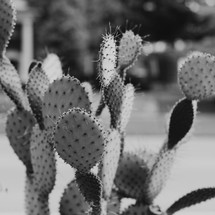 prickly pear cactus in black and white
