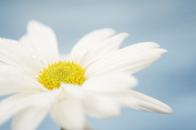 white daisy on white background