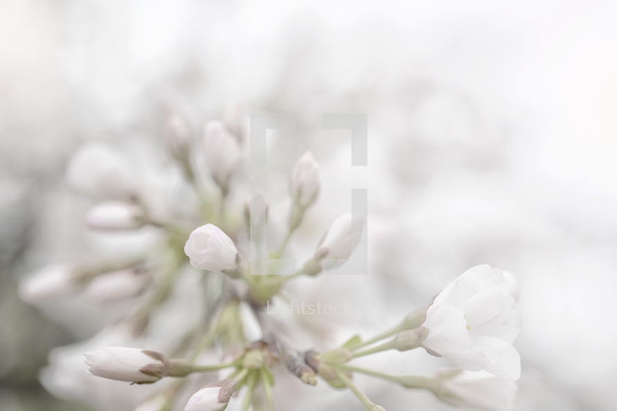 Spring Flower Buds Photo By Julie Lightstock