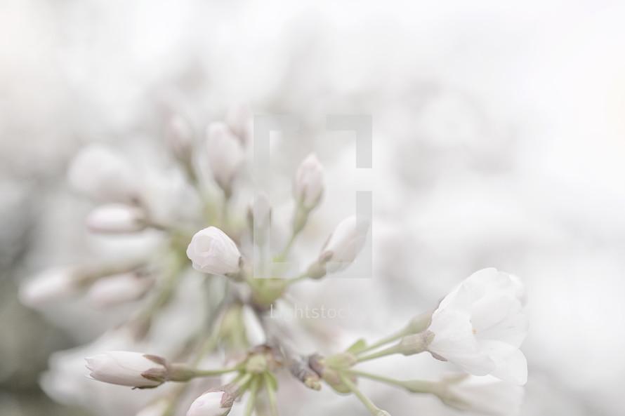 Spring flower buds photo by julie lightstock spring flower buds mightylinksfo